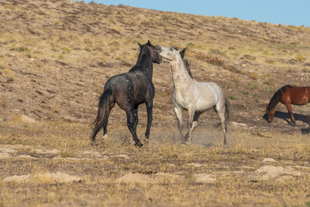 Wild Horse Stallions Fighting in the Desert