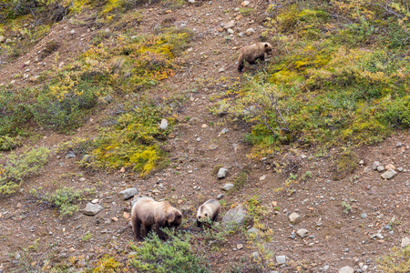 Grizzly Bear Sow and Cubs Standard-Bild - 104117236