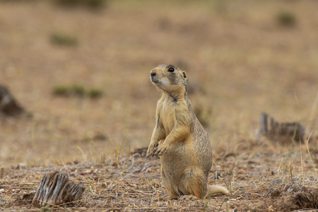 White-tailed Prairie Dog