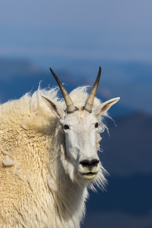 Regal Mountain Goat in the High Alpine