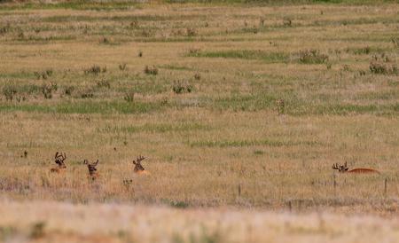 Whitetail Deer Bucks in Velvet