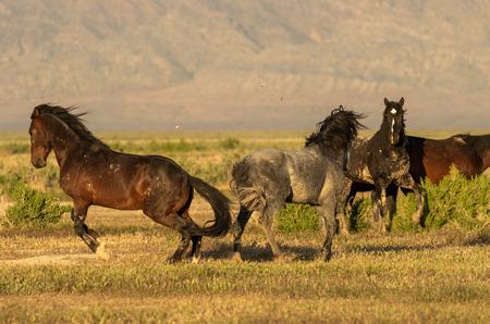 Wild Horse Stallions Fighting