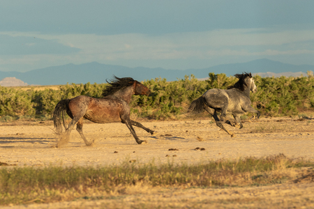 Wild Horse Stallions Fighting Stock Photo - 106061147
