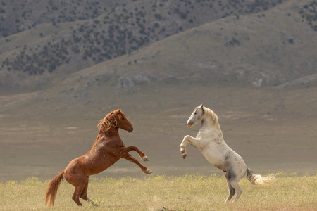 Wild Horse Stallions Fighting Stock Photo - 106061151