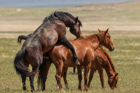 Wild Horses Mating