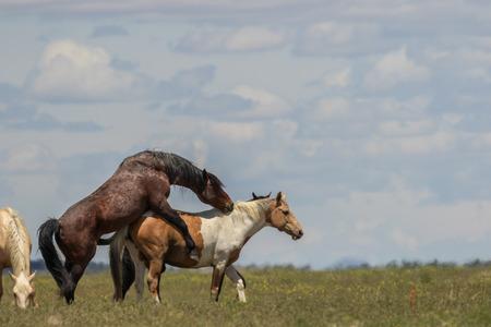 Accoppiamento di cavalli selvaggi Archivio Fotografico