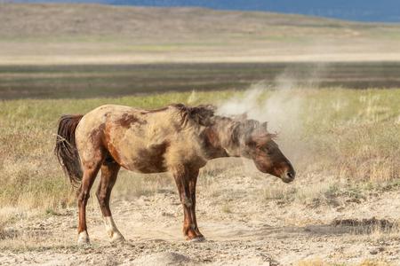 Wild Horse Shaking off Desert Dirt