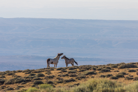 Wild Horse Stallions Facing Off