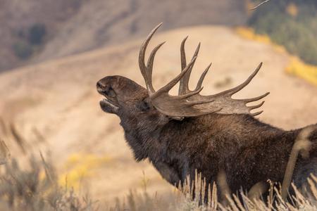 Bull Shiras Moose in Rut 版權商用圖片