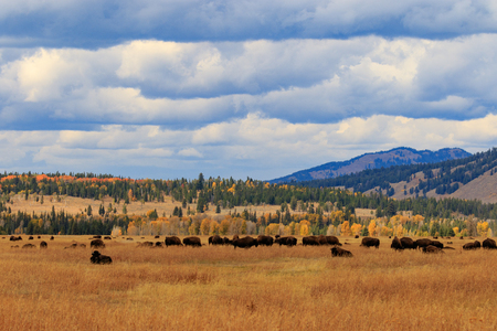 Herd of Bison in Fall Stock Photo