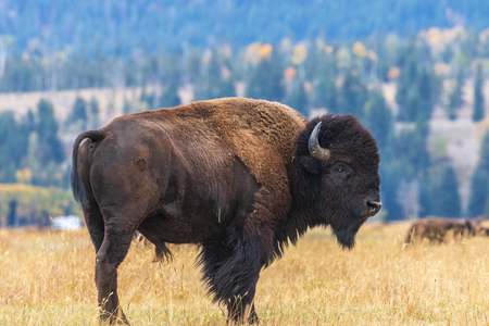 Bull Bison in Autumn