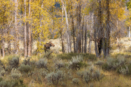 Rutting Bull and Cow Moose