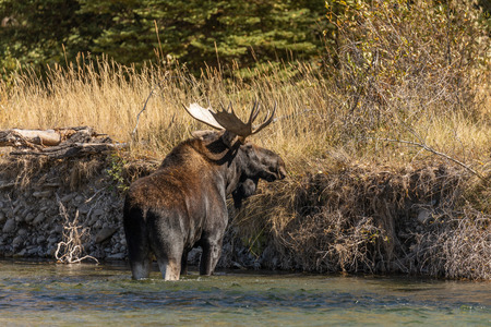 Bull Shiras Moose in  a River During the Fall Rut