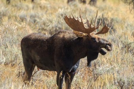 Bull Shiras Moose in Fall Stockfoto