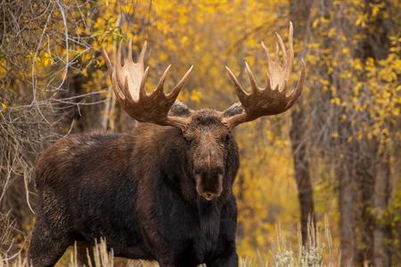 Bull Shiras Moose en otoño