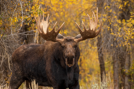 Bull Shiras Moose in Fall 版權商用圖片