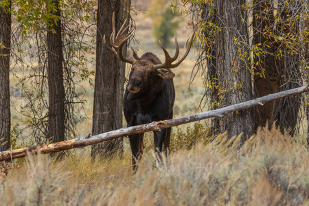Bull Moose in the Fall Rut