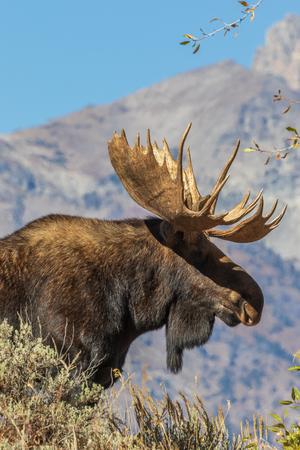 Bull Shiras Moose in the Tetons in Fall