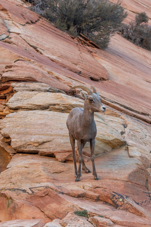 Desert Bighorn Sheep Ewe Stock Photo