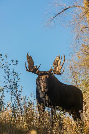 Bull Shiras Moose in the Fall Rut