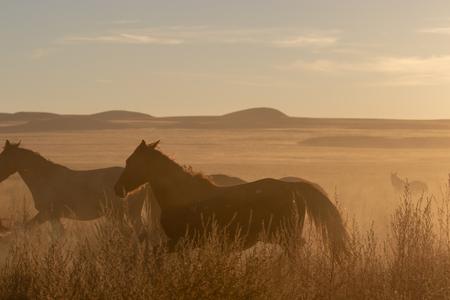 Herd of Wild Horses at Sunset