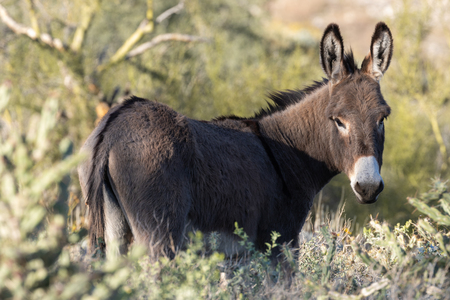 Wild Burro in the Arizona Desert