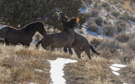Wild Horses in Utah in Winter