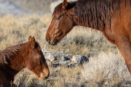 Wild Horses in Winter in Utah Фото со стока