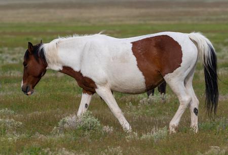 Wild Horse in Spring in Utah