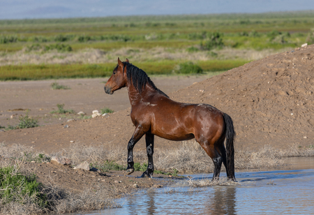Wild Horse at a Waterhole in the Utah Desert