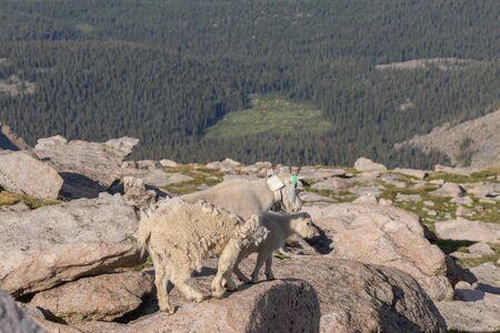 Mountain Goat in Summer Stok Fotoğraf
