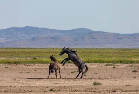 Pair of Wild Horse Stallions Fighting Фото со стока