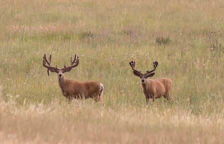 Mule Deer Bucks in Velvet