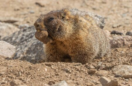 Yellow Bellied Marmot in Summer
