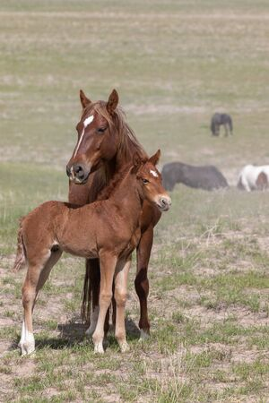 Wild Horse Mare and Foal Stockfoto