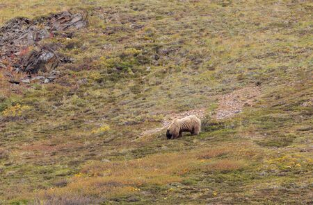 Grizzly Bear in Autumn in Alaska
