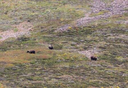 Grizzly Bear Cubs in Autumn in Alaska