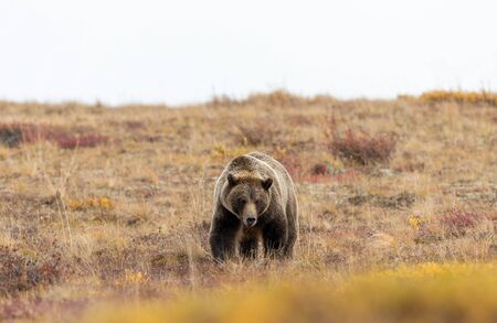 Grizzly Bear in Alaska in Autumn