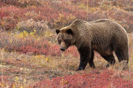 Grizzly Bear in Autumn in Alaska