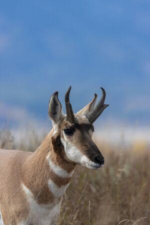 Pronghorn antelope buck 版權商用圖片