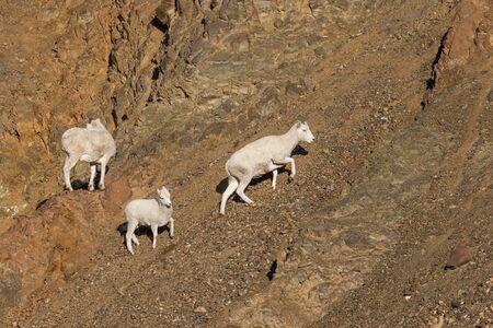 Dall Sheep Ewes in Alaska