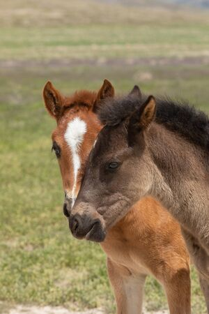 Cute Wild Horse Foals in Utah