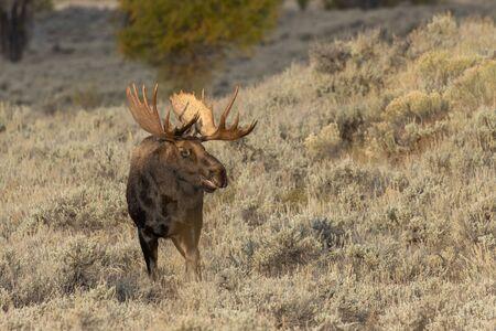 Bull Shiras Moose in Autumn Stockfoto