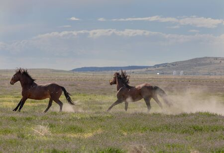 Wild Horse Stallions in the Utah Desert