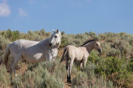 Wild Horse Mare and Foal in Colorado
