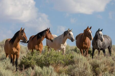 Wild Horses in Sand wash basin Colorado in Summer
