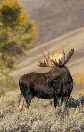 Bull Moose in Wyoming in Fall