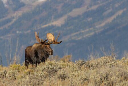 Bull Moose in Fall in Wyoming