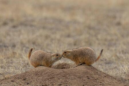 Prairie Dogs at Burrow