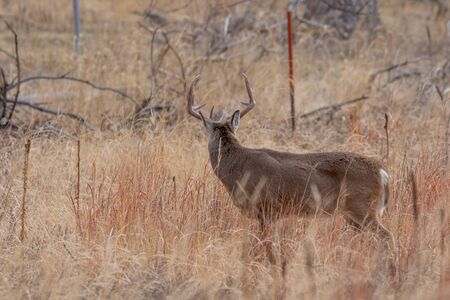 Whitetail Deer Buck in the Fall Rut